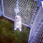 Rabbit in fence